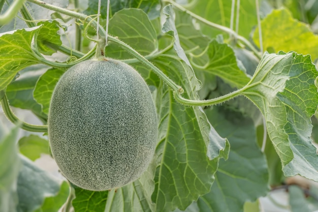 Giovane germoglio di melone verde