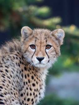 Giovane ghepardo