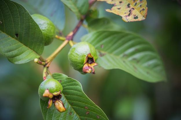 Giovane guava comune che cresce con il fondo della sfuocatura, scuro
