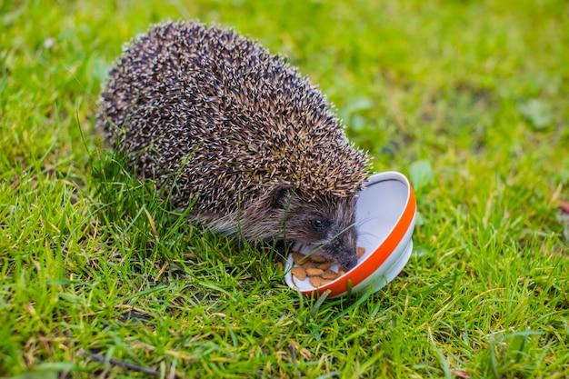 Giovane istrice che mangia cibo per gatti istrice e un piatto su erba verde.