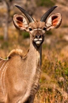 Giovane kudu
