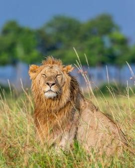 Giovane leone maschio nell'erba nella savana