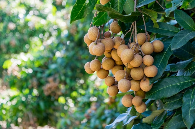 Giovane longan di frutti tropicali in tailandia