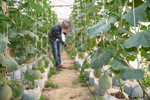 Giovane melone verde o cantalupo che cresce nella serra