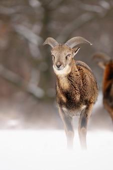 Giovane muflone in piedi sulla neve nel periodo invernale