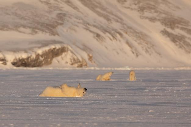 Giovane orso polare, ursus maritimus, sdraiato a rotolare sul ghiaccio, madre e setacciare in background. svalbard