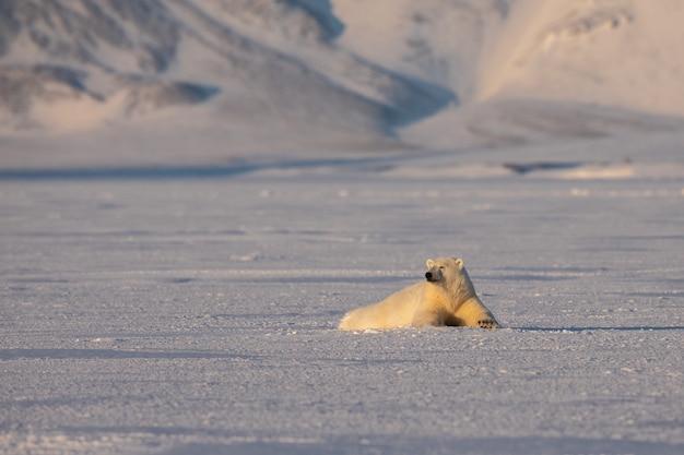 Giovane orso polare, ursus maritimus, sdraiato sul ghiaccio, montagne sullo sfondo, artico svalbard