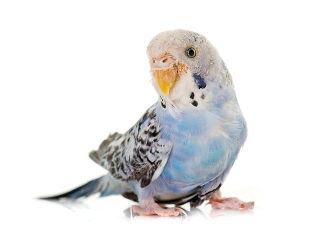 Giovane pappagallino colorato