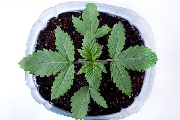 Giovane pianta di marijuana medicinale in una pentola con terreno di terra e foglie verdi su sfondo bianco, indoor coltiva cannabis