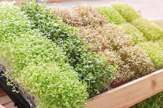 Giovane pianta o germoglio di girasole in vivaio