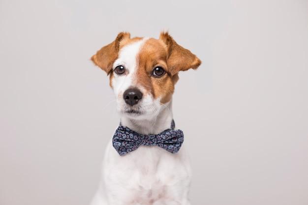 Giovane piccolo cane bianco sveglio che indossa una cravatta a farfalla moderna. seduto sul pavimento di legno bianco