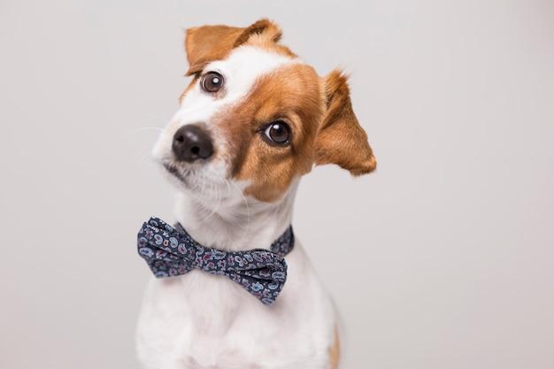 Giovane piccolo cane bianco sveglio che indossa una cravatta a farfalla moderna.