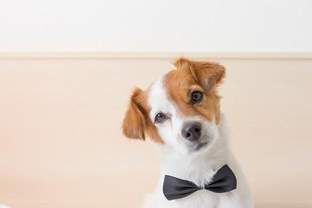 Giovane piccolo cane bianco sveglio che indossa una cravatta a farfalla nera. seduto sul letto e guardando la telecamera. casa e stile di vita, animali domestici al chiuso
