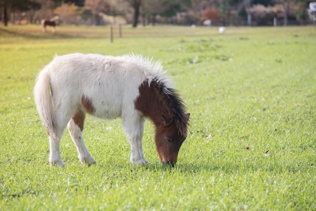 Giovane piccolo cavallo sveglio in un'azienda agricola con erba verde