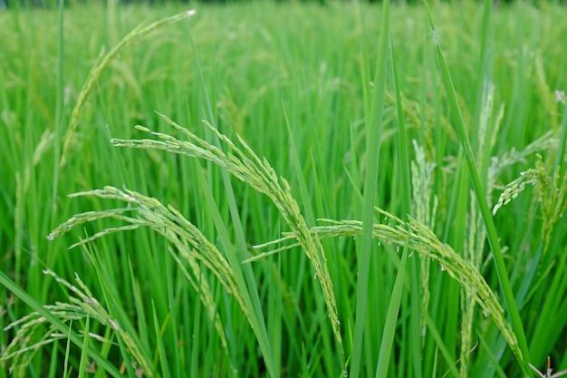 Giovane riso verde nelle risaie