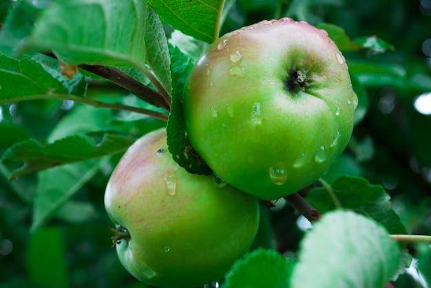 Giovane, rispettosa dell'ambiente, mela su un ramo di una mela t