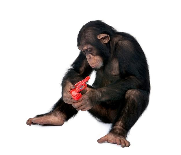 Giovane scimpanzè che gioca con la pistola rossa nella parte anteriore su bianco isolato, troglodytes di simia