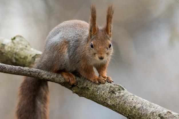 Giovane scoiattolo rosso sveglio che si siede sul ramo di albero