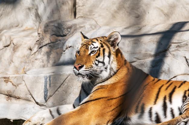 Giovane tigre siberiana, altrimenti nota come la tigre dell'amur.