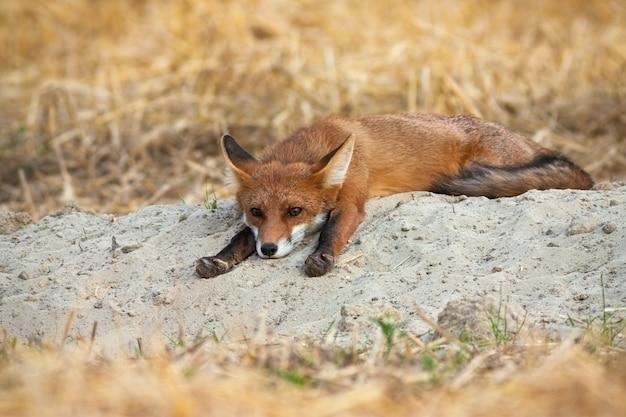 Giovane volpe rossa che si riposa e che allunga le gambe sul campo agricolo.