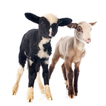 Giovani agnelli