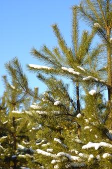 Giovani alberi di natale innevati crescono in una foresta tra cumuli di neve