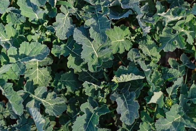Giovani foglie di colza nel periodo di inizio primavera.