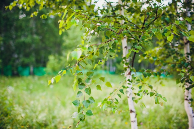Giovani foglie verdi succose sui rami di una betulla al sole all'aperto nella macro del primo piano di estate di primavera sui precedenti del tronco di betulla.