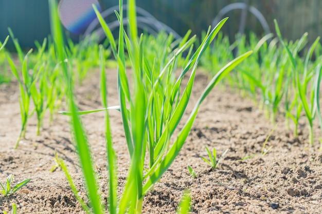 Giovani gambi di aglio crescente, orto all'inizio della primavera.
