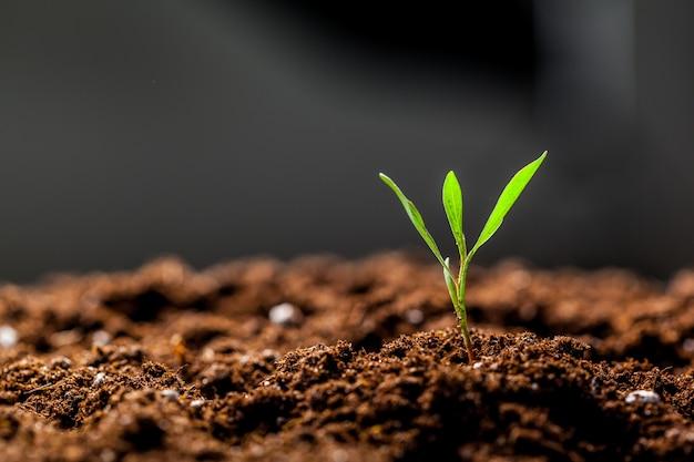 Giovani germogli crescenti della piantina del cereale verde nel campo coltivato dell'azienda agricola agricola