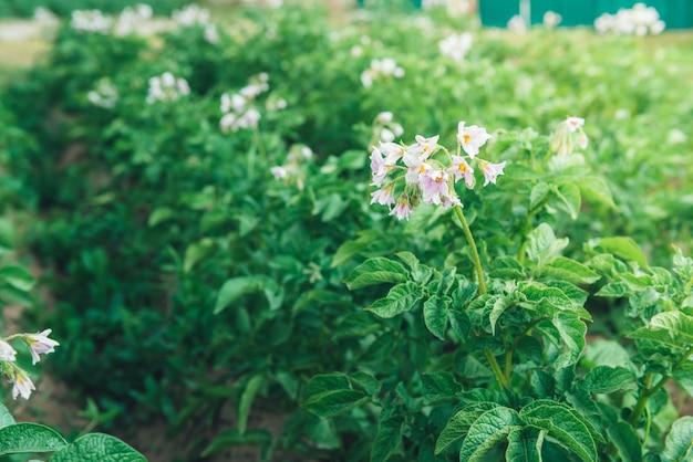 Giovani germogli verdi di patate che crescono sul terreno.