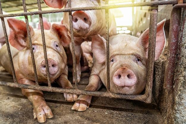 Giovani maiali negli allevamenti di suini, industria suinicola