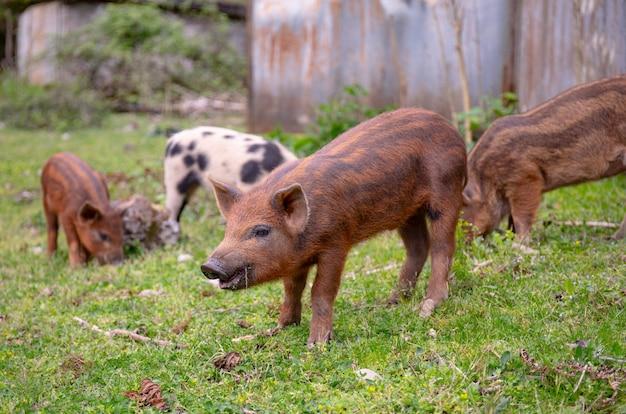 Giovani maiali su un prato verde. maialino funky marrone e macchiato che pasce nell'azienda agricola.