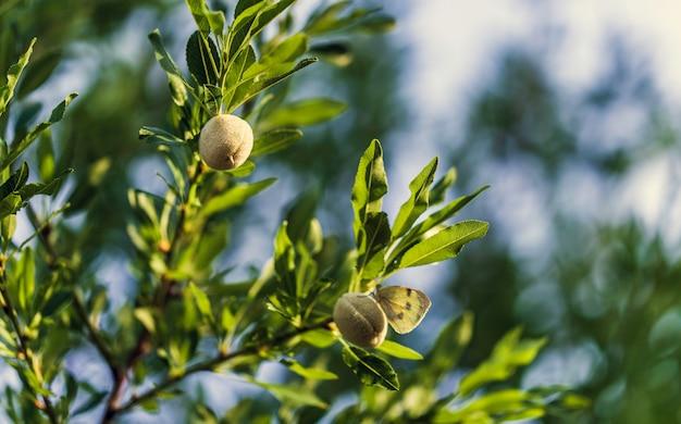 Giovani mandorle fresche che crescono su un ramo di un mandorlo al sole