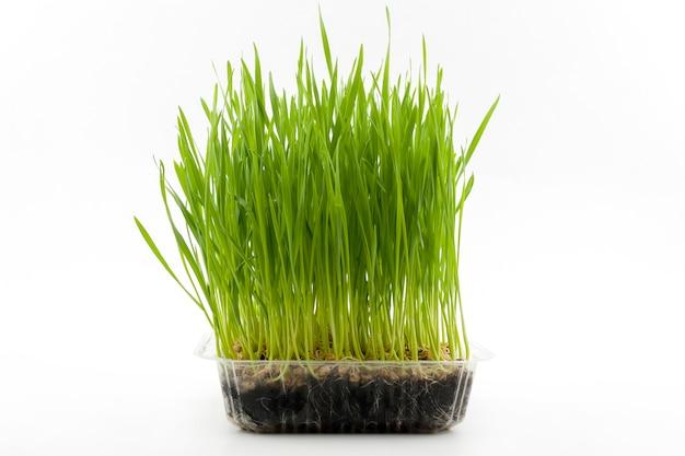 Giovani piante del grano in scatola di plastica su fondo bianco