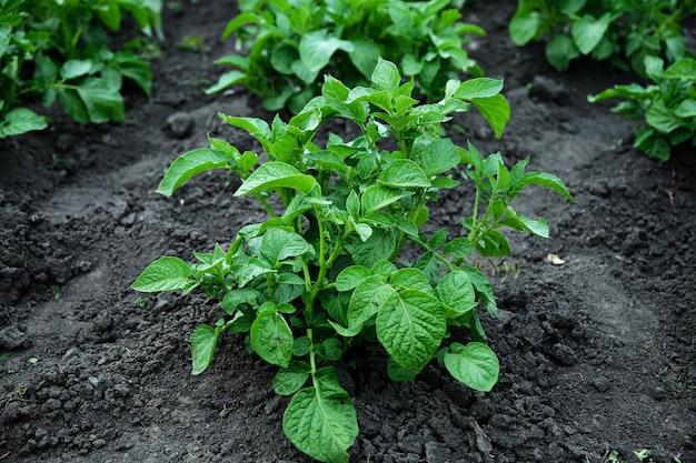 Giovani piante di patate che crescono nel giardino rurale