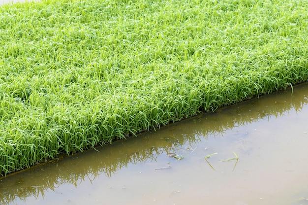 Giovani piantine della pianta di riso che crescono in vassoi al bordo della risaia