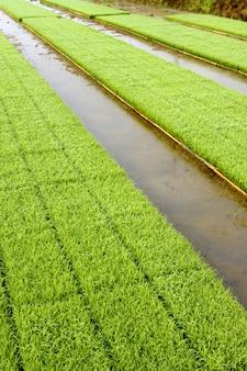 Giovani piantine della pianta di riso pronte per la piantagione che cresce in vassoi al bordo della risaia