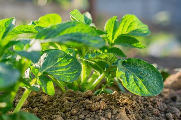 Giovani raccolti di patate, orto all'aperto