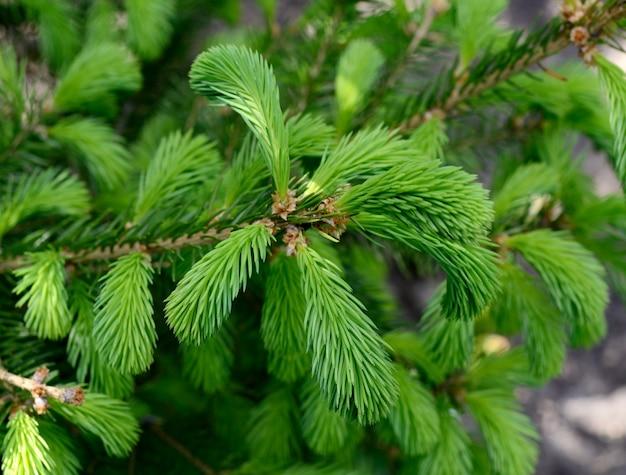 Giovani soffici germogli di abete verde, rami di abete.