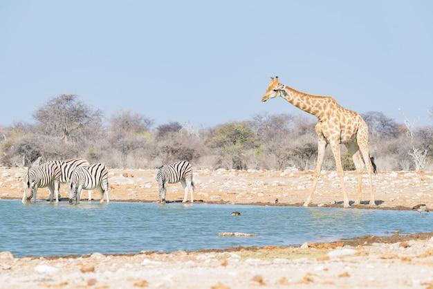 Giraffa che beve dalla pozza d'acqua. safari della fauna selvatica nel parco nazionale di etosha, famosa destinazione di viaggio in namibia