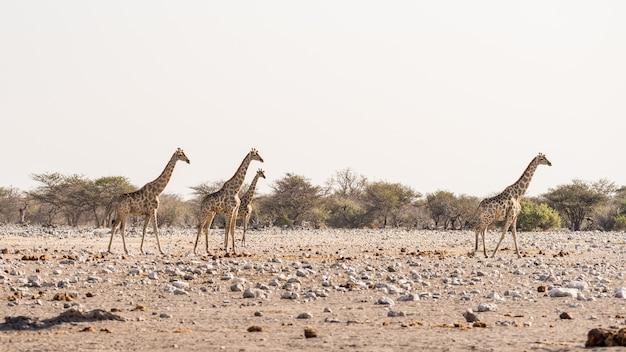 Giraffa che cammina nel cespuglio sulla pentola del deserto. safari della fauna selvatica nel parco nazionale di etosha, la principale destinazione di viaggio in namibia, africa. vista profilo.