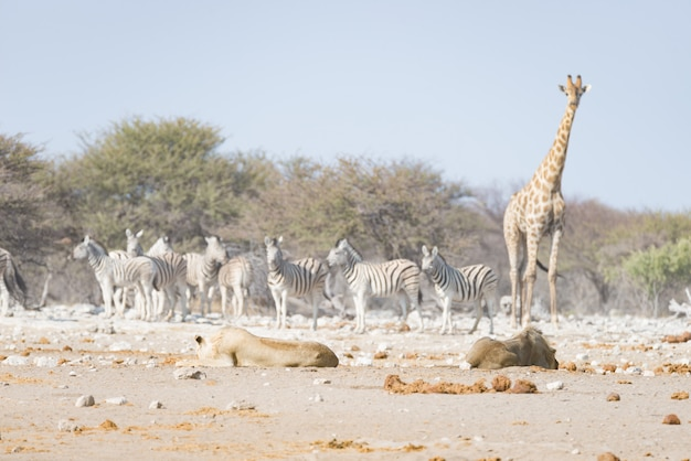 Giraffa che cammina vicino ai leoni che si trovano giù sulla terra. safari naturalistico nel parco nazionale di etosha.