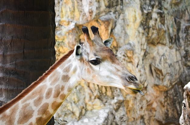 Giraffa (giraffa camelopardalis)
