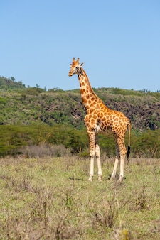 Giraffa in ambiente naturale