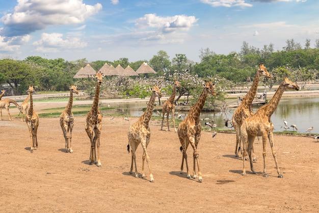Giraffa in giardino zoologico a bangkok, in thailandia