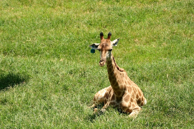 Giraffa nello zoo