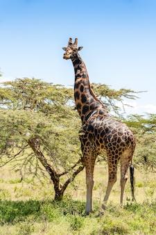 Giraffa su uno sfondo di erba