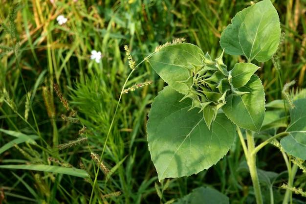 Girasole crescente, helianthus annuus. germoglio verde unblown di girasole con foglie verdi.