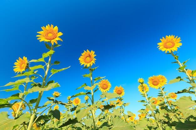 Girasole sotto il cielo blu.